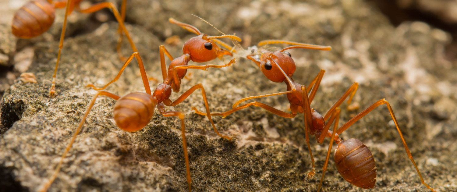 Lawn Treatment for Fire Ants